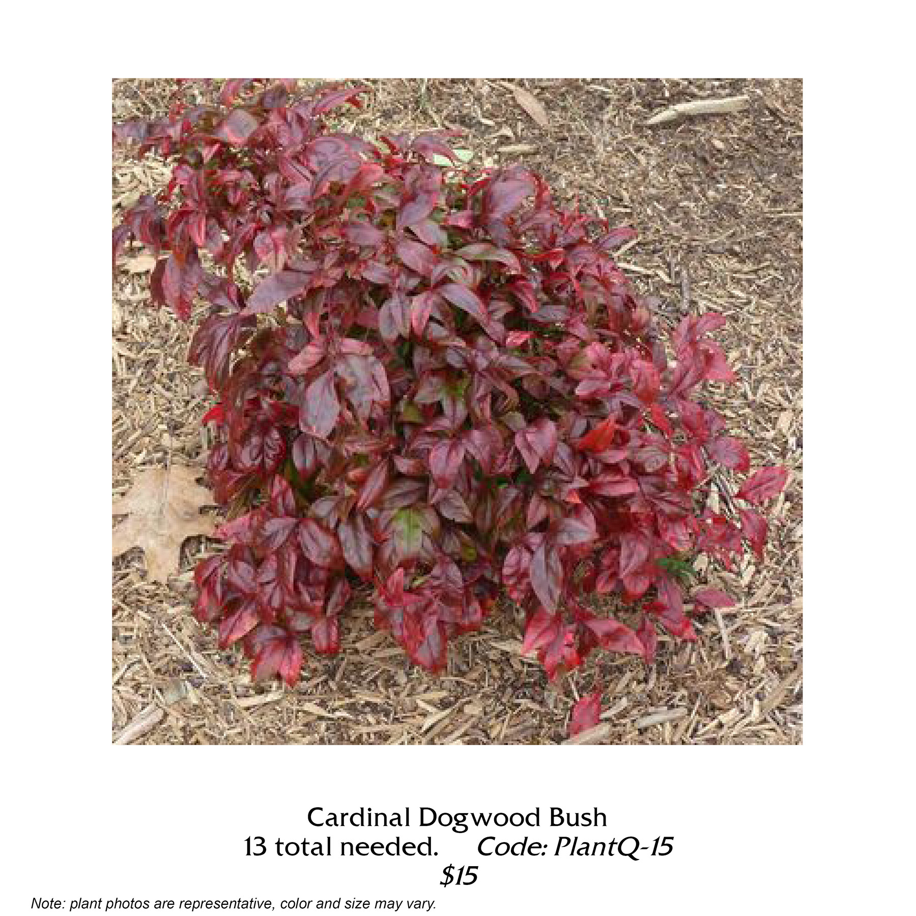 cardinal dogwood bush.jpg