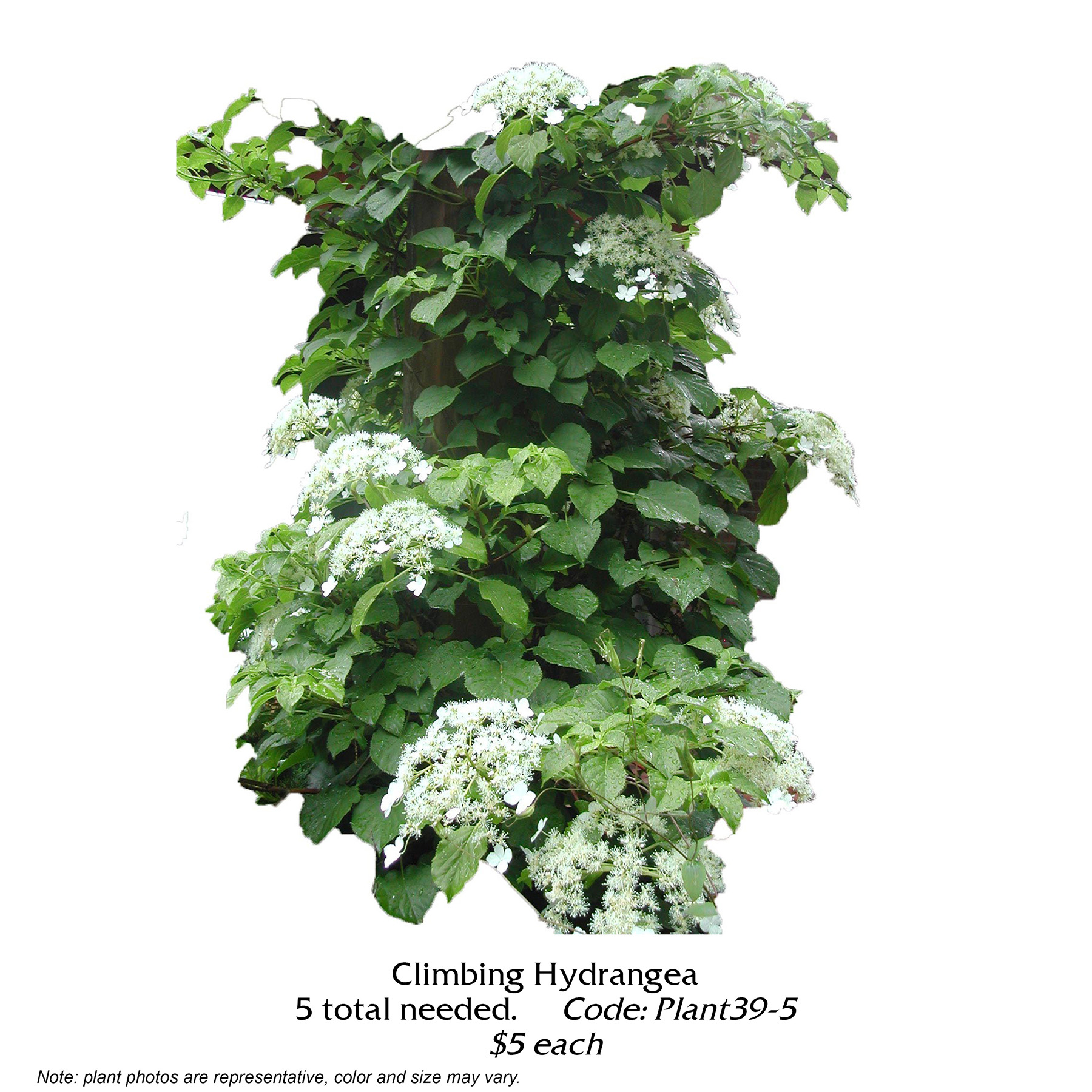 Climbing Hydrangea.jpg