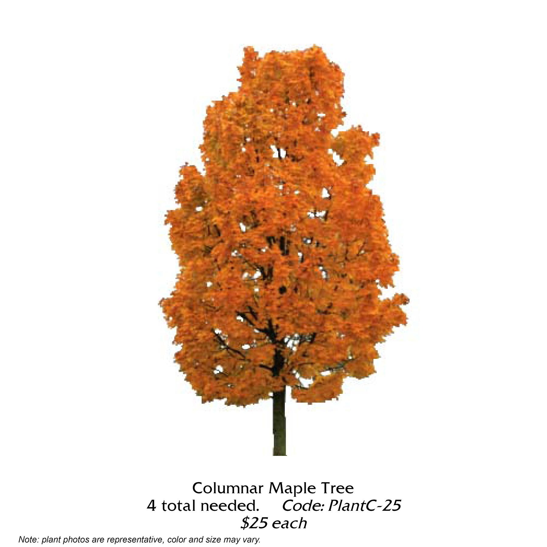 Columnar Maple Tree.jpg