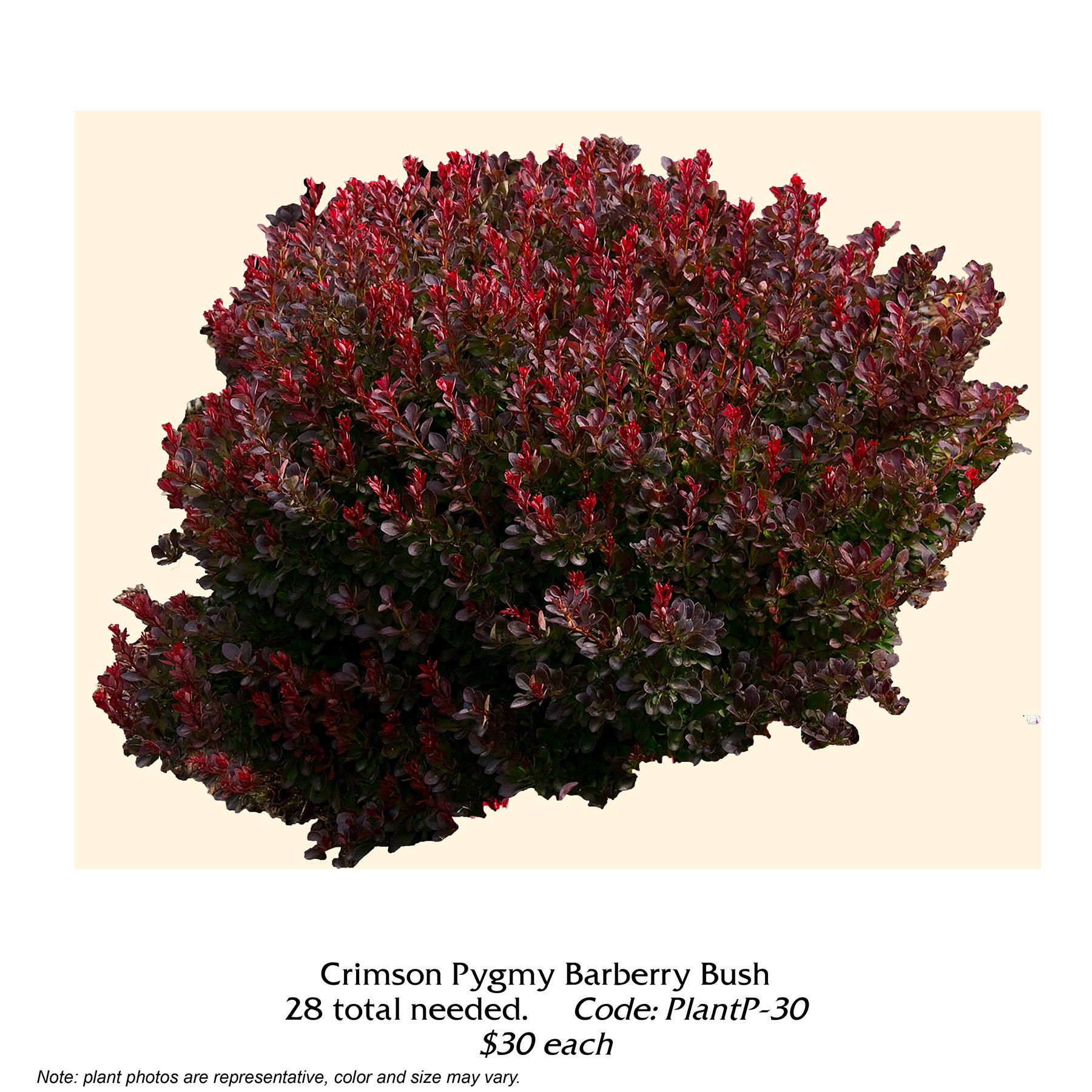 Crimson Pygmy Barberry Bush.jpg