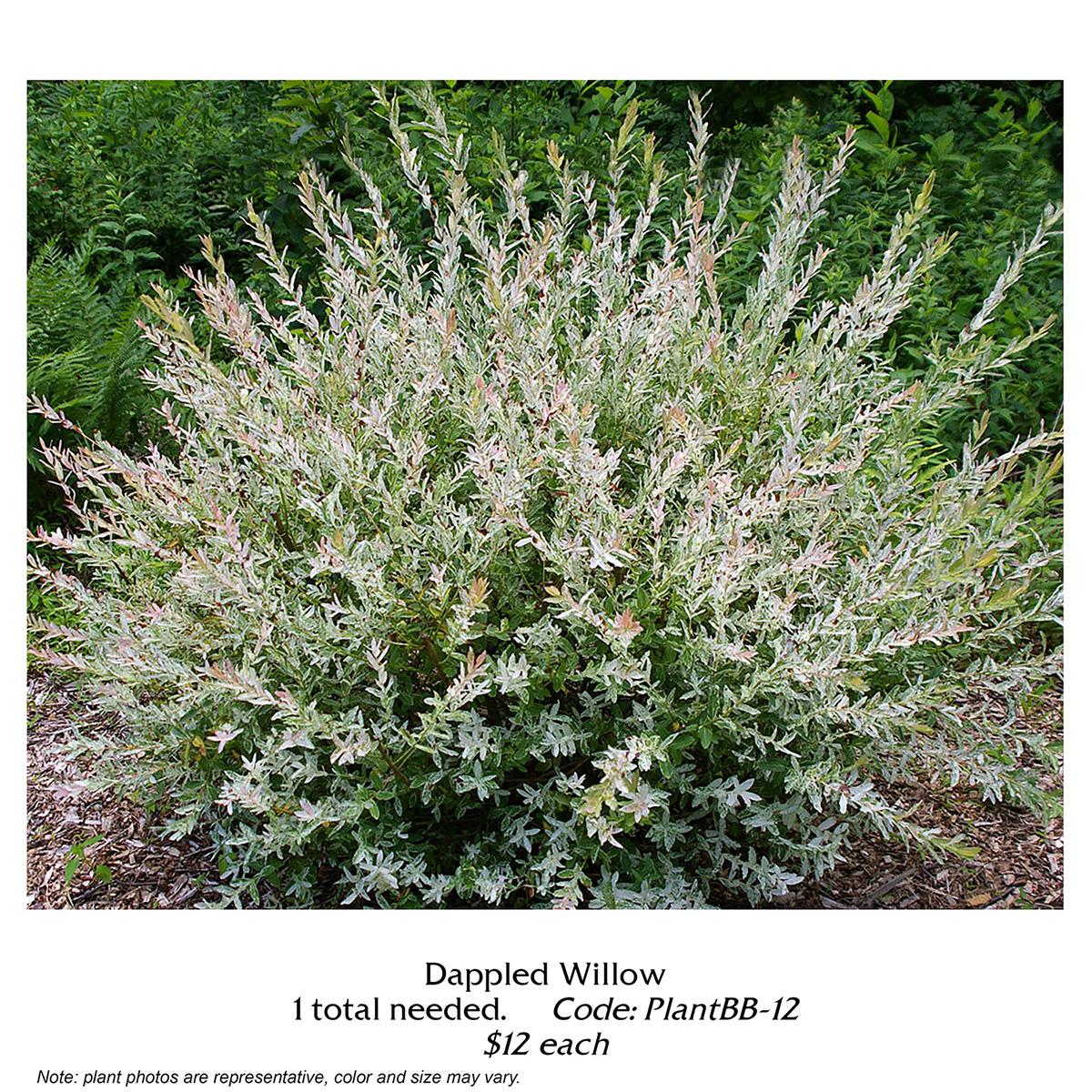 dappled willow.jpg