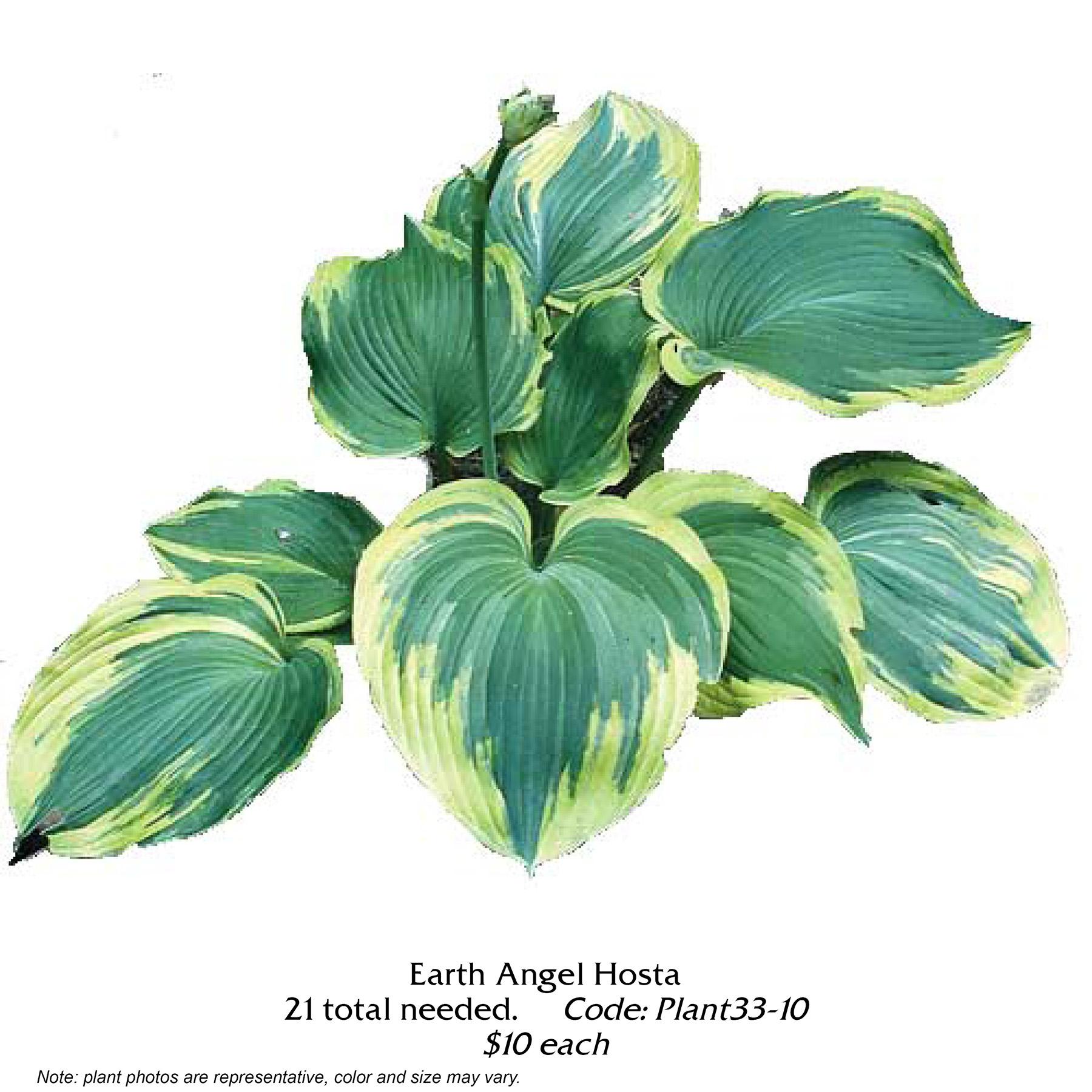 Earth angel hosta.jpg