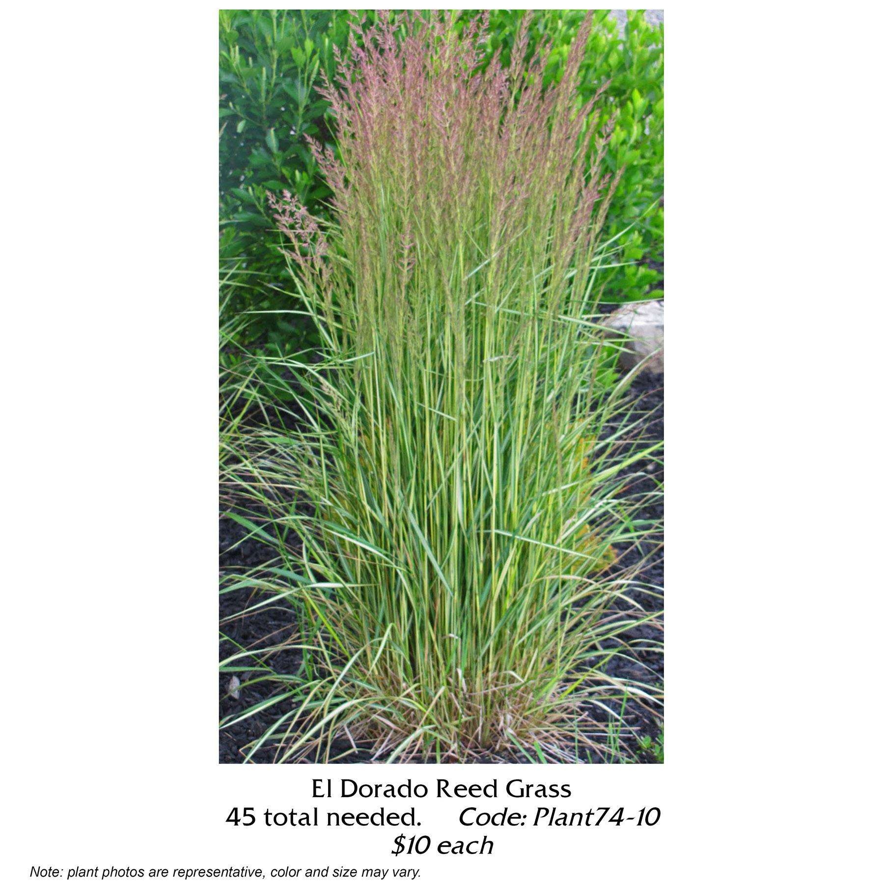 el dorado reed grass.jpg