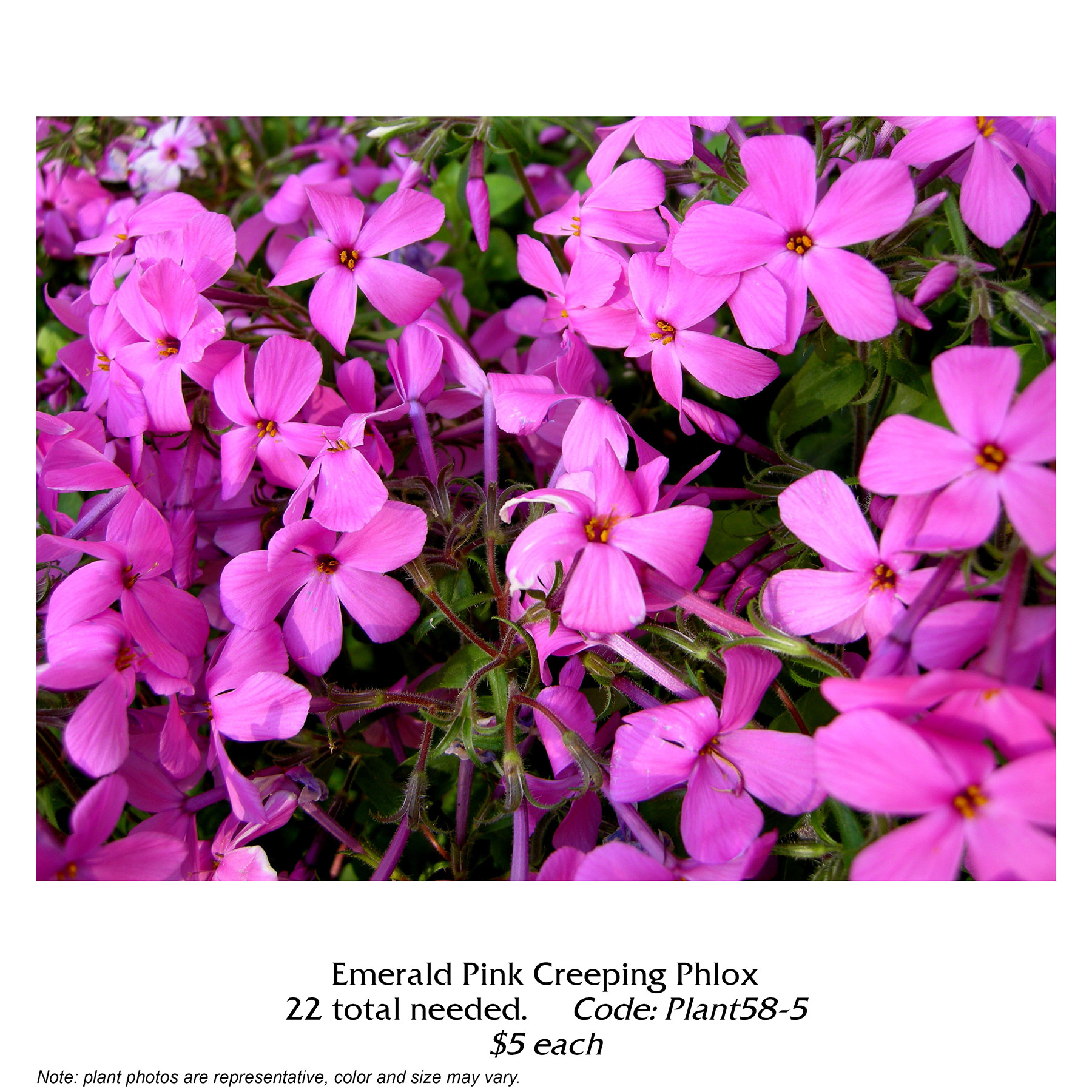 emerald pink creeping phlox.jpg