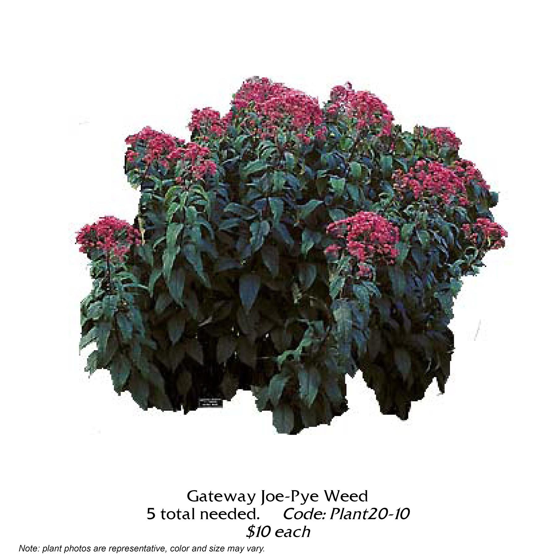 Gateway Joe Pye Weed.jpg