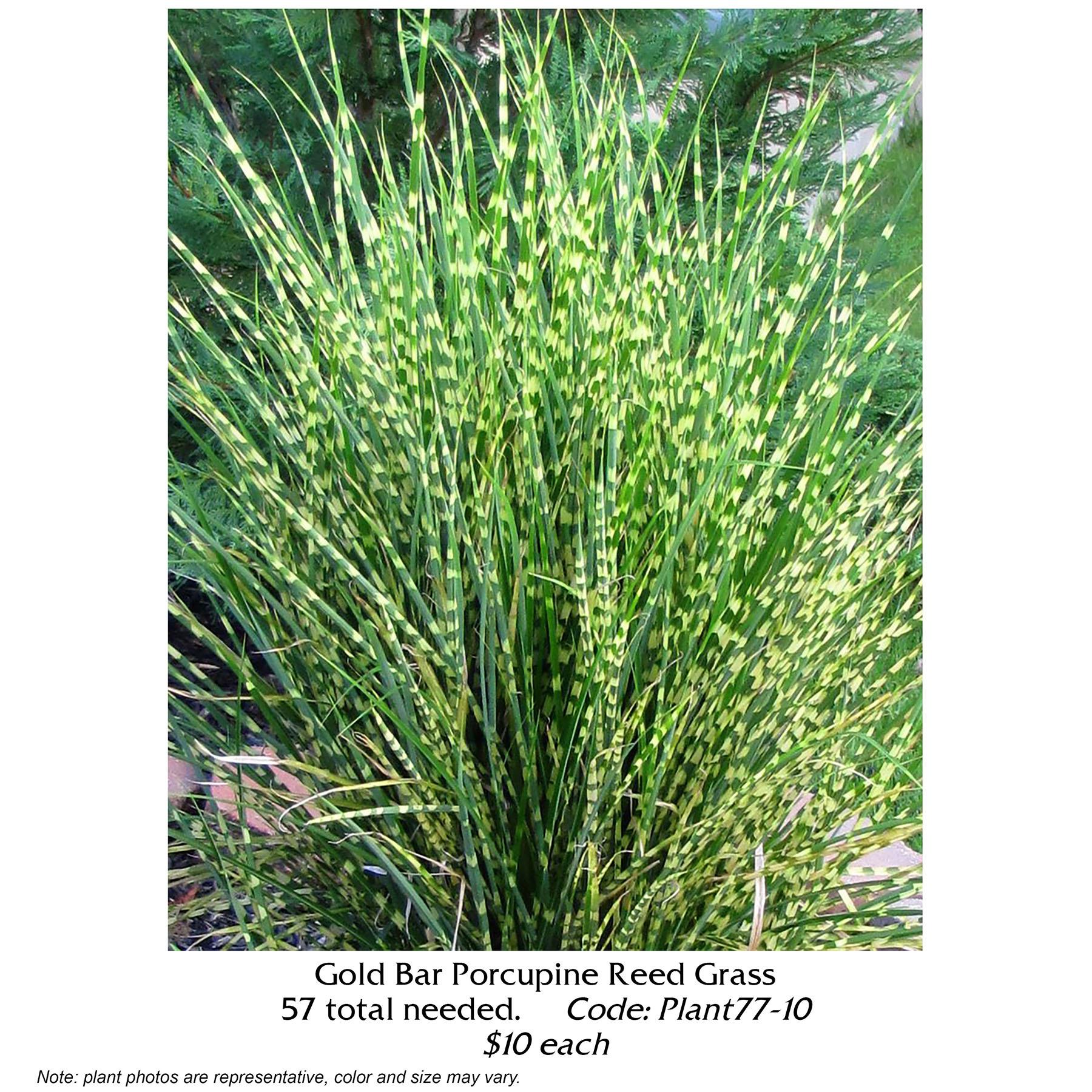 gold bar porcupine grass.jpg
