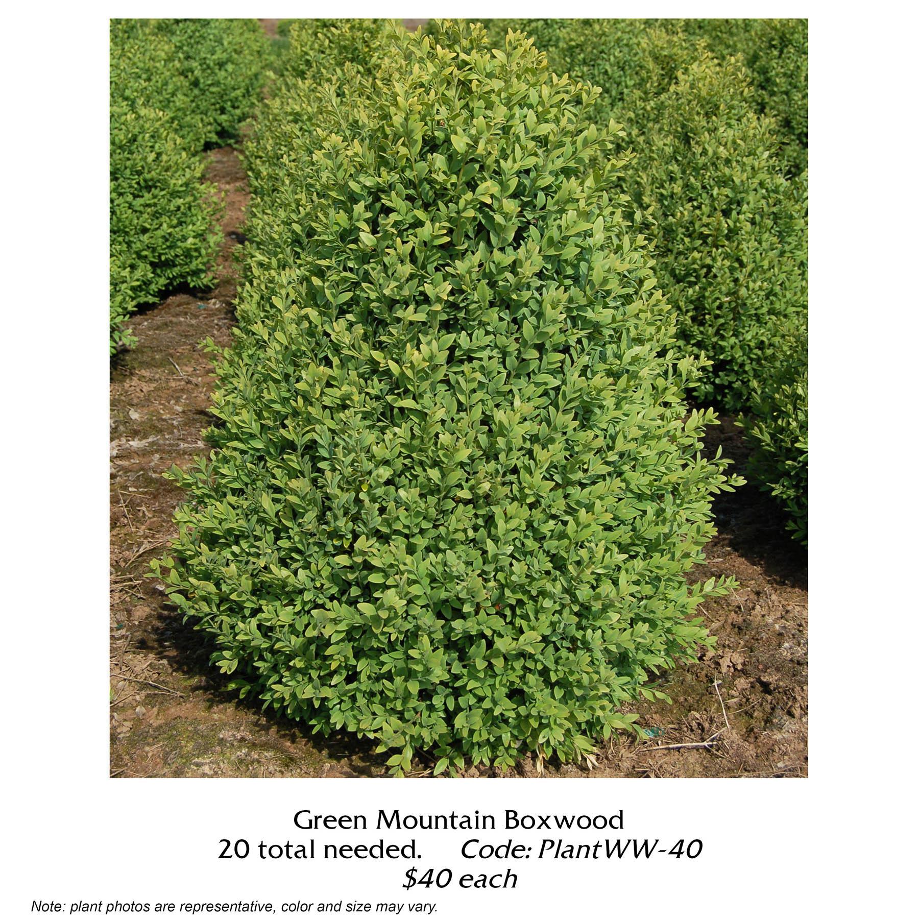 green mountain boxwood.jpg