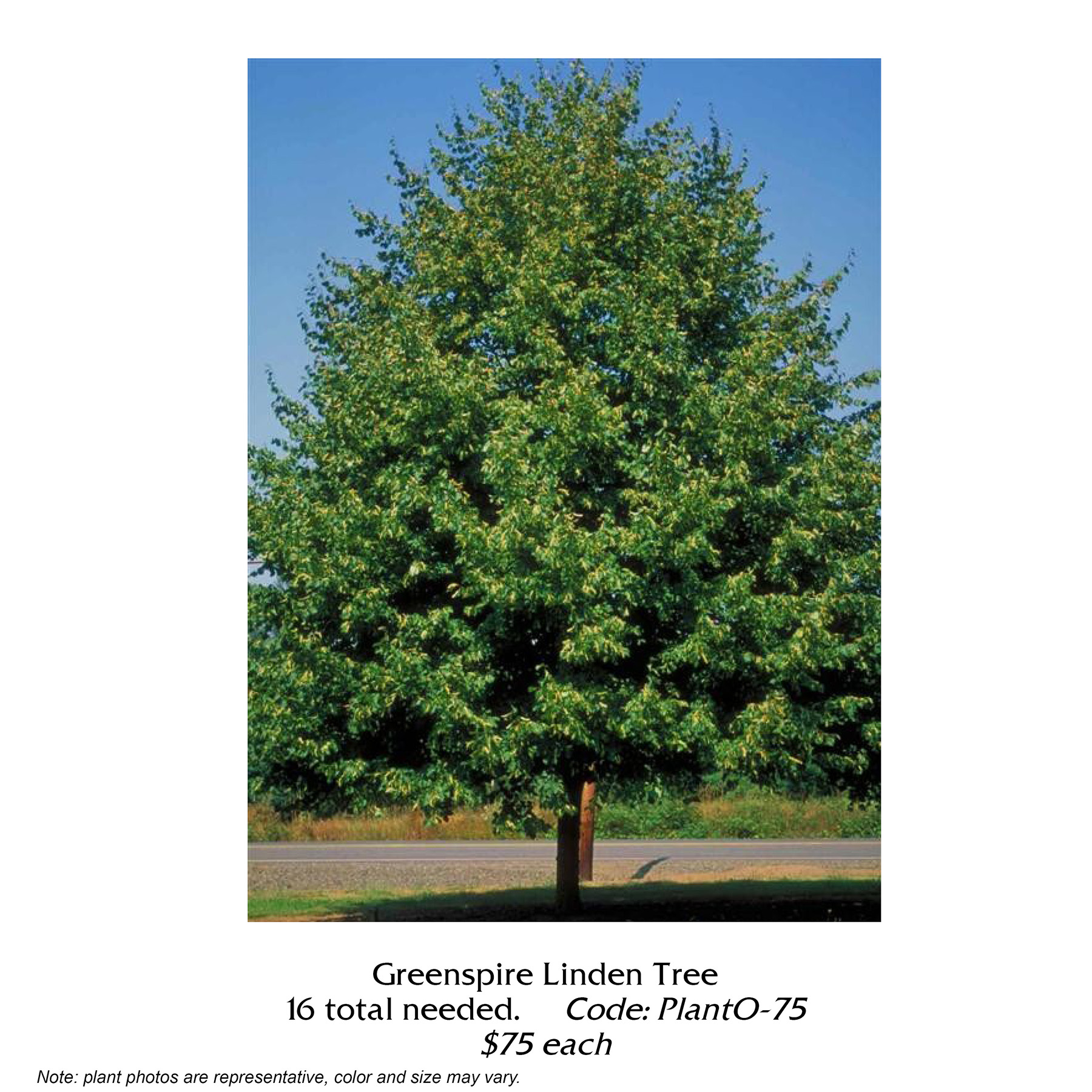 Greenspire Linden Tree.jpg