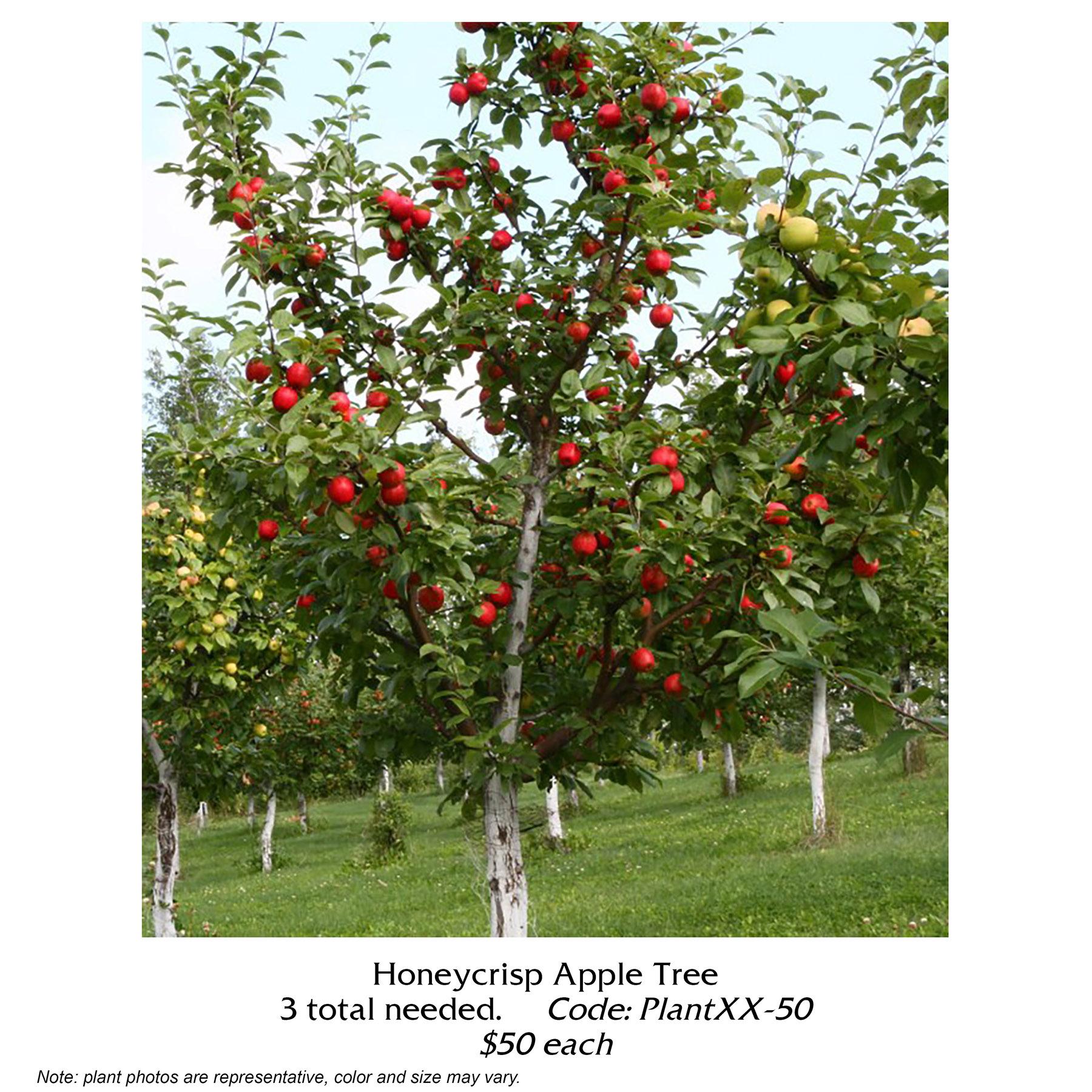 honeycrisp apple tree.jpg