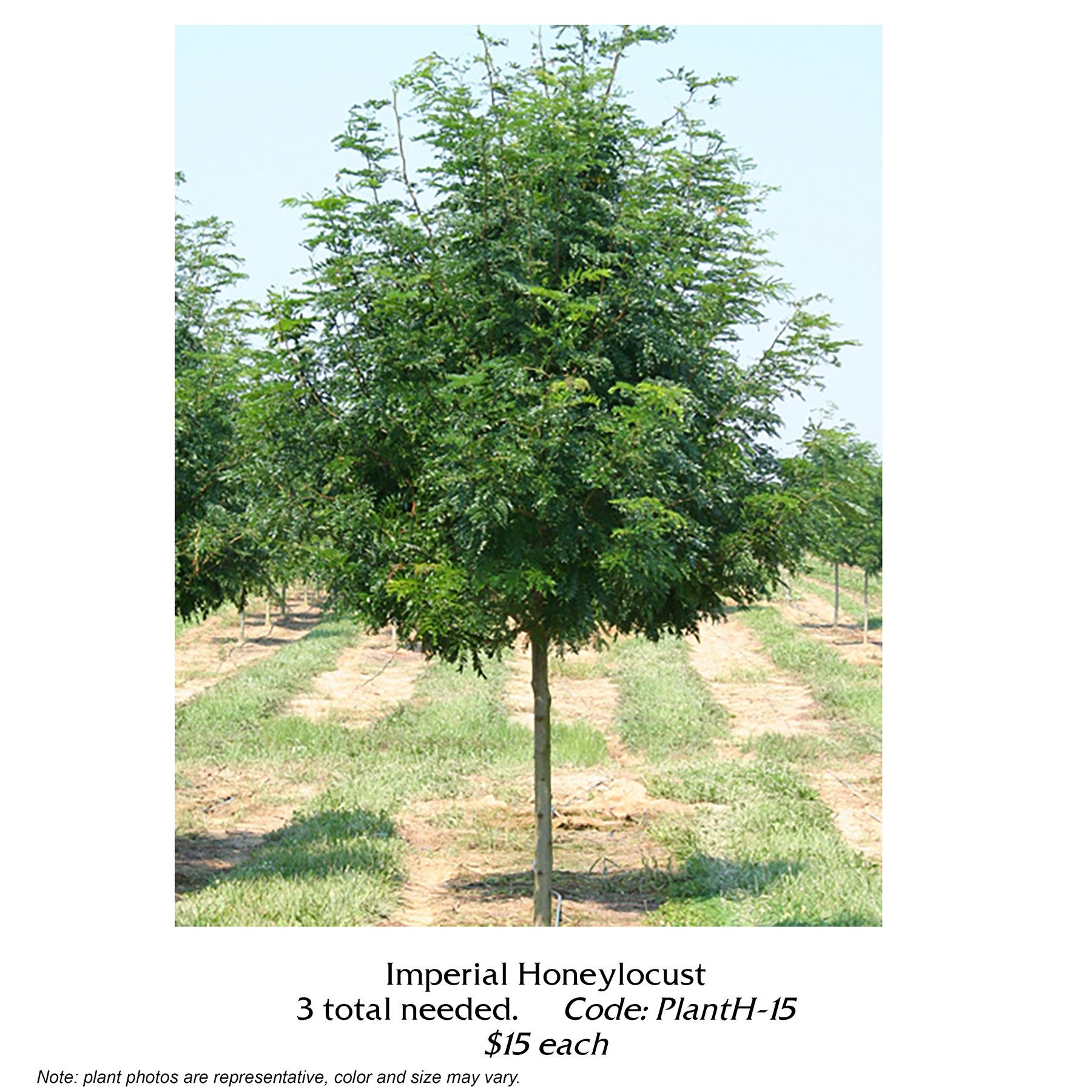 Imperial Honeylocust.jpg