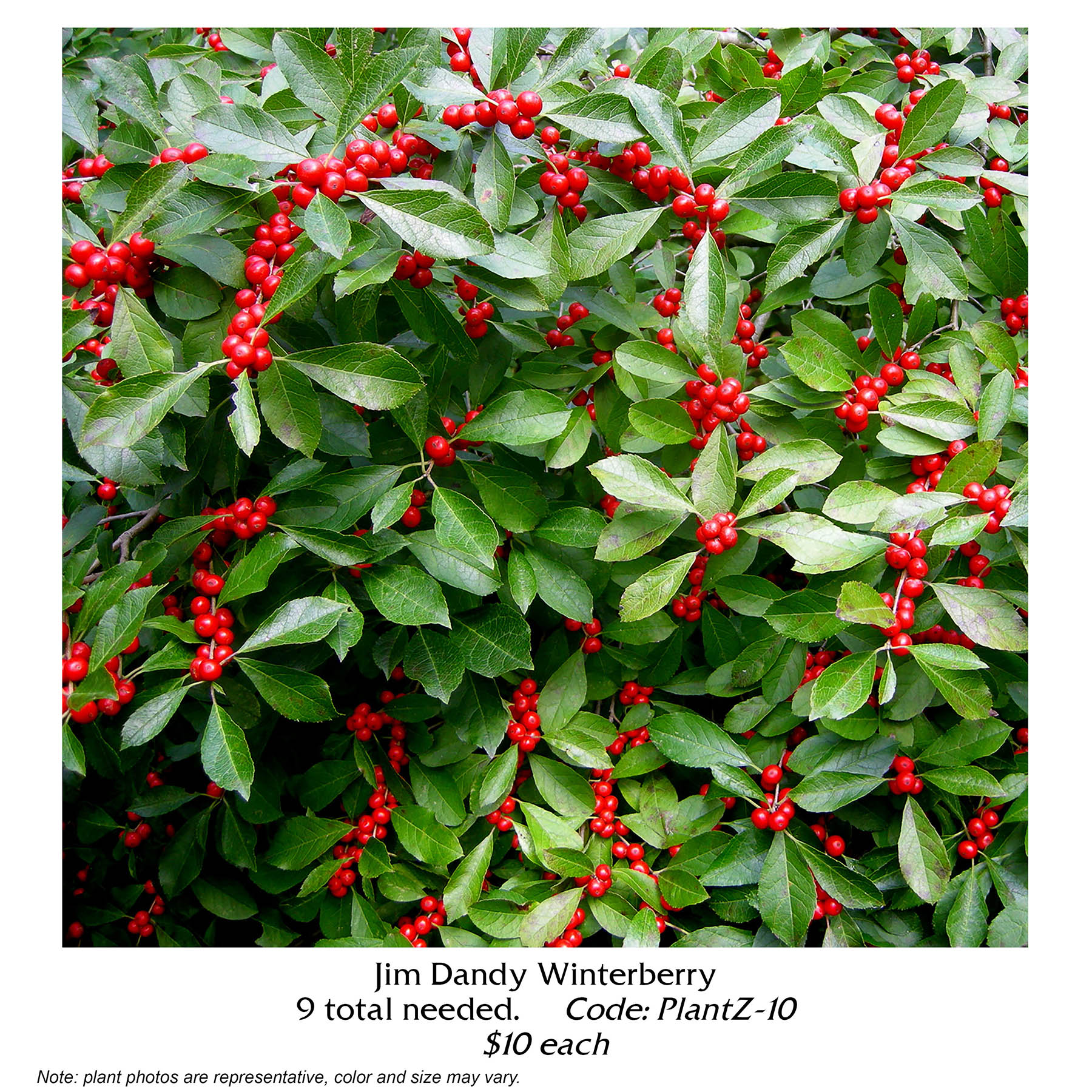 jim dandy winterberry.jpg