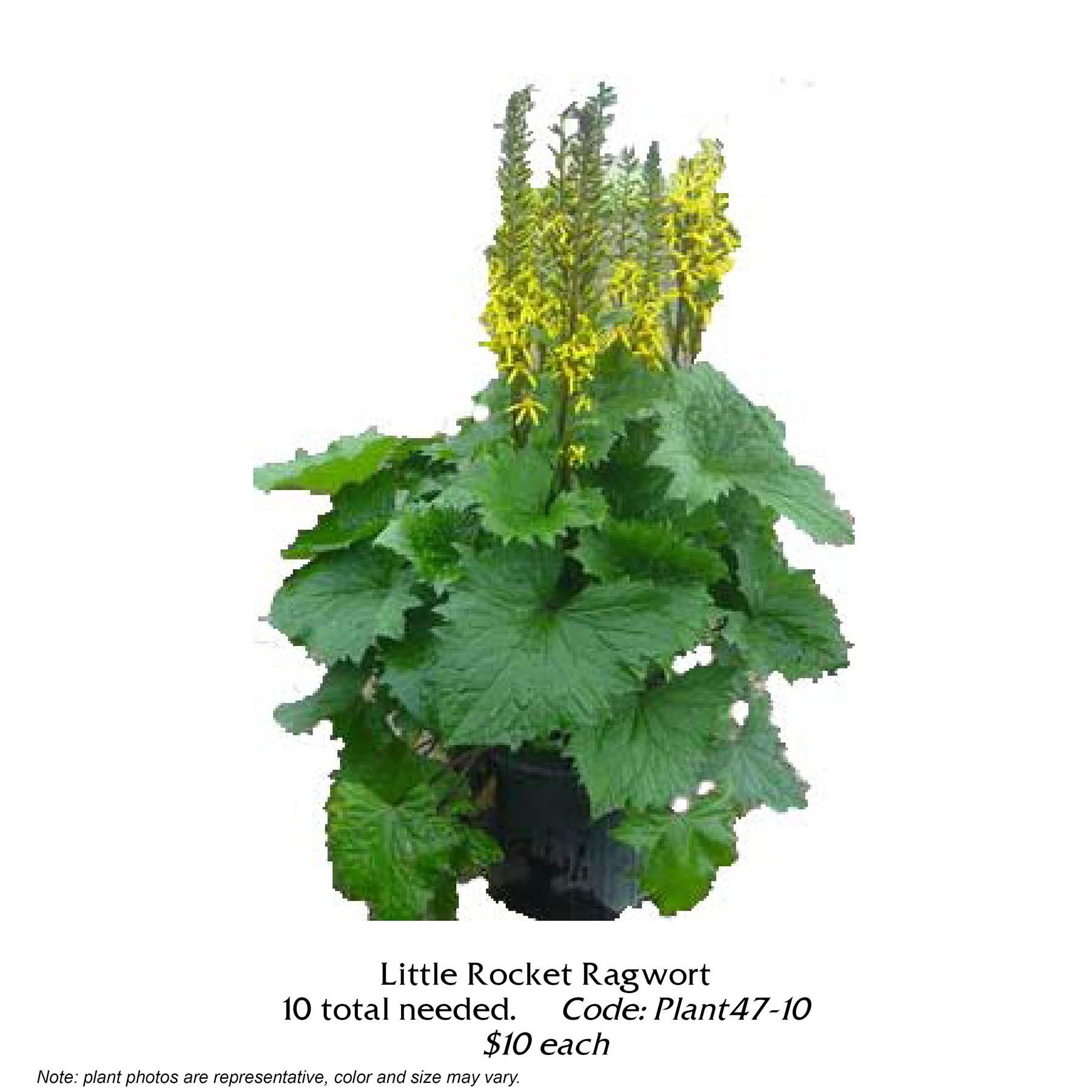 Little Rocket Ragwort.jpg