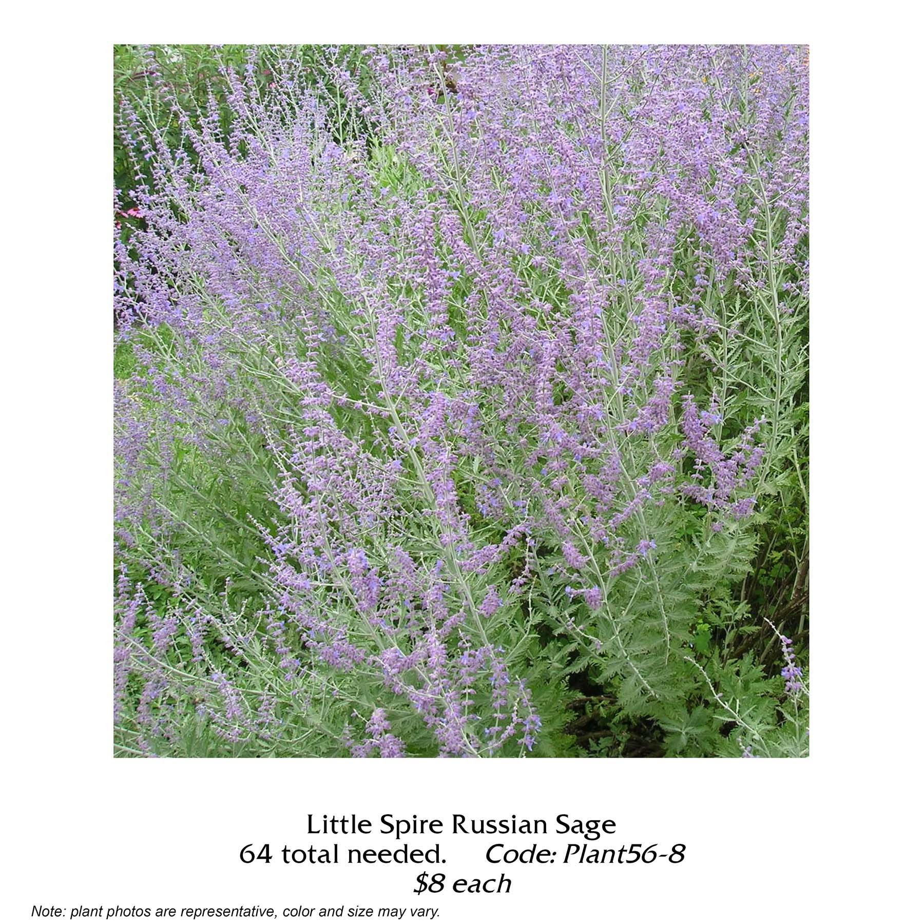 Little Spire Russian Sage.jpg