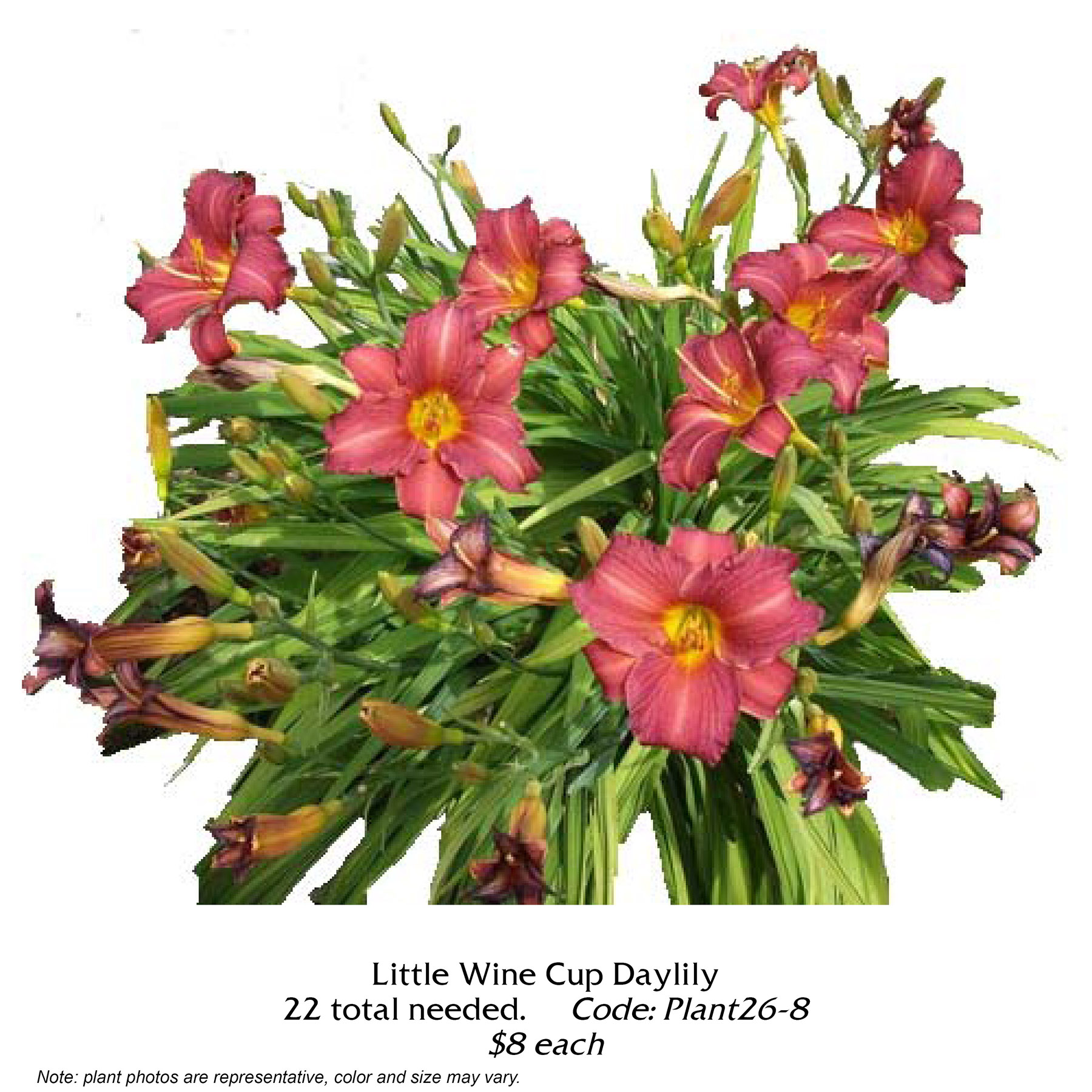 Little Wine Cup Daylily.jpg