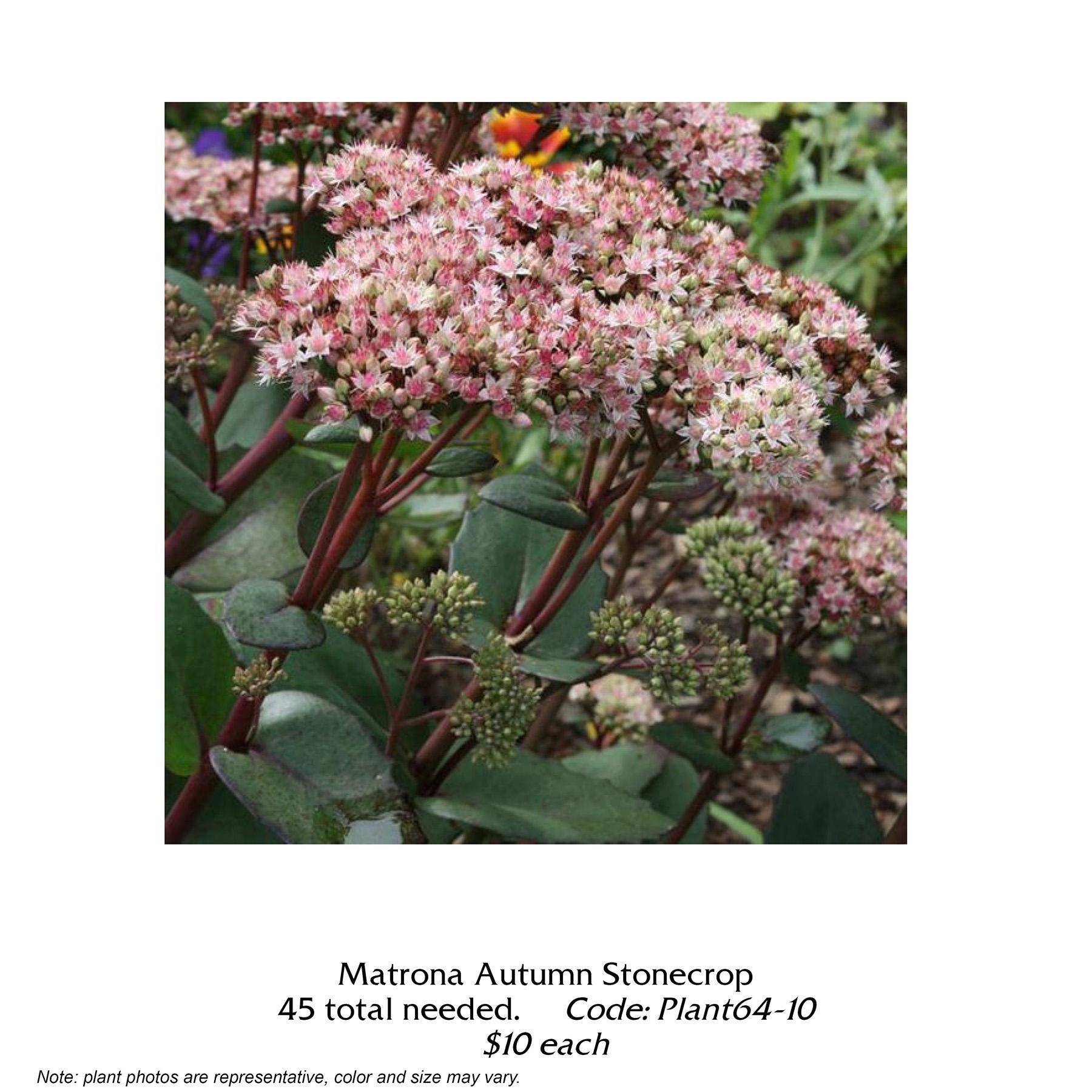 matrona autumn stonecrop.jpg