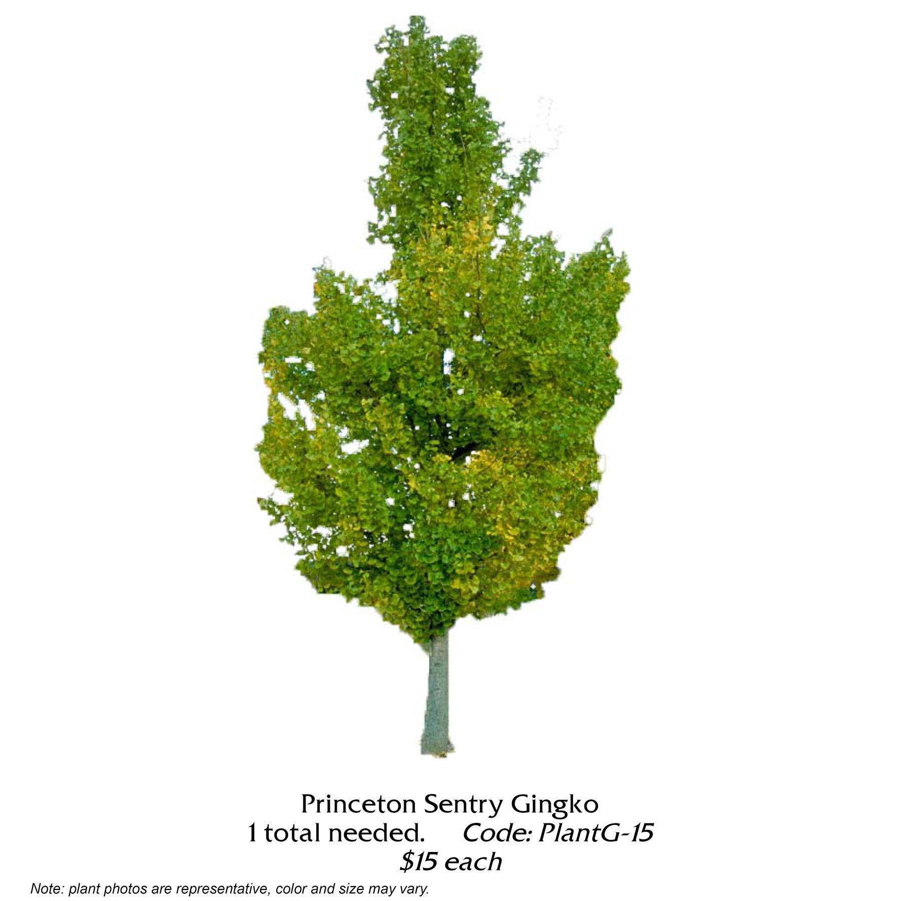 Princeton Sentry Gingko Tree.jpg