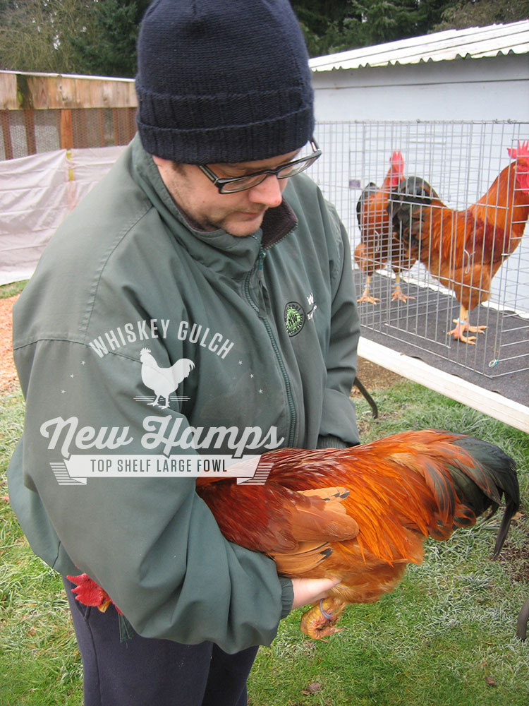 new-hamp-chicken-appraisal-01.jpg