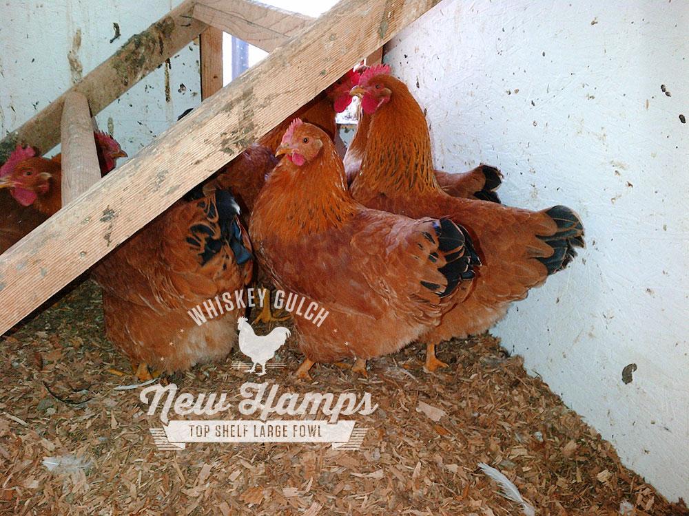 new-hamp-chicken-hens-01.jpg