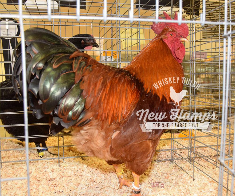 new-hamp-chicken-rooster-03.jpg