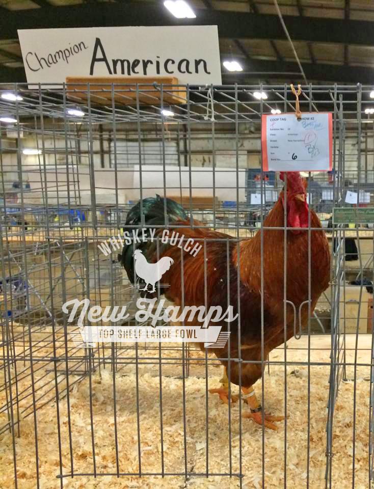 new-hamp-chicken-rooster-champion-american-01.jpg
