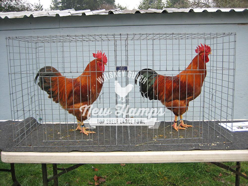 new-hamp-chicken-roosters-01.jpg