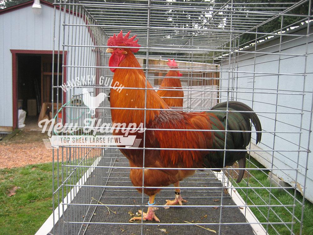 new-hamp-chicken-roosters-02.jpg