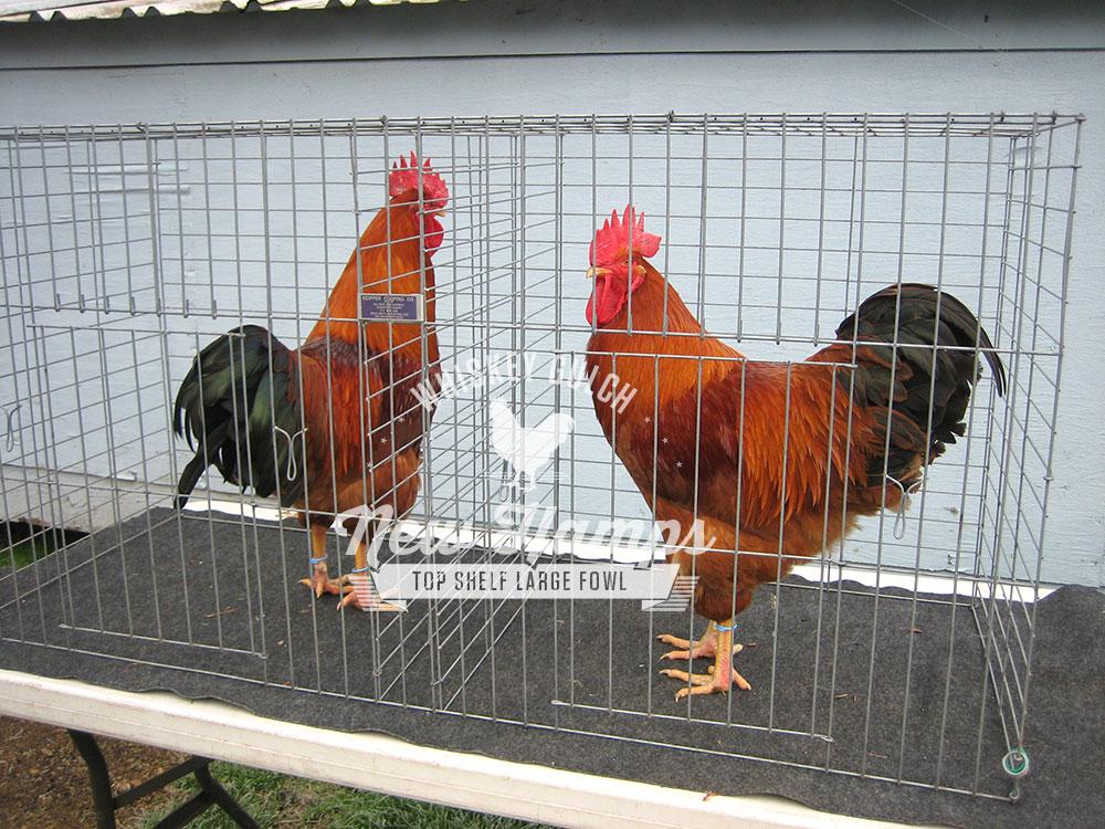 new-hamp-chicken-roosters-07.jpg