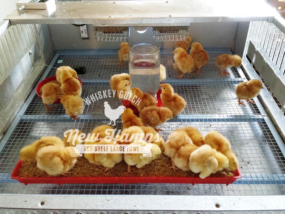 new-hamp-chicken-chicks-02.jpg