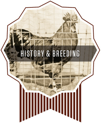 Whiskey Gulch New Hamp Chickens History and Breeding