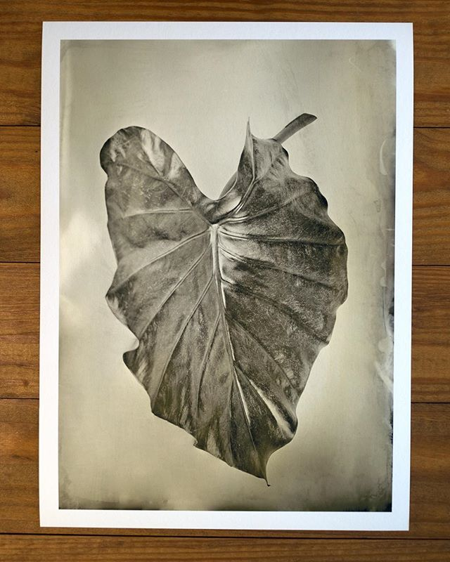 "75$ for sale now ! ""Elephant Ear"" limited edition print 12.125x8.5 inches, archival inkjet print from original 5x7 #wetplate #collodion #tintype, 12 available. First of a series of six limited release prints. Link in bio"