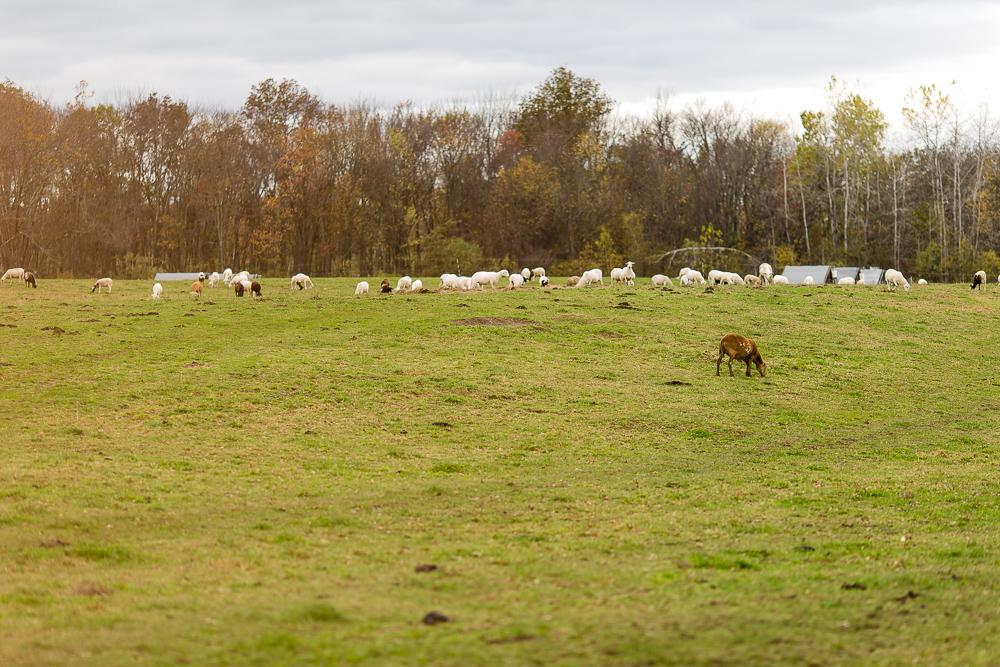 Arius-Photo-Karl-Family-Farms-Free-Range474.JPG