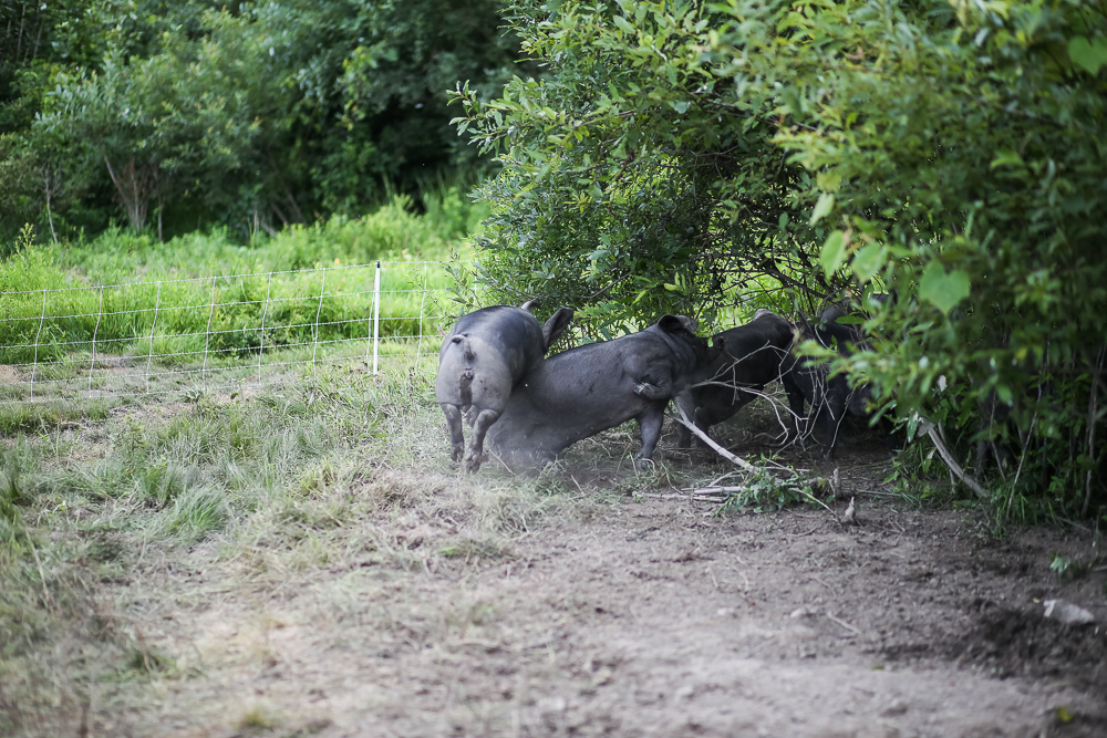 Arius-Photo-Karl-Family-Farms-Free-Range510.JPG
