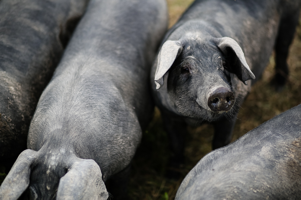 Arius-Photo-Karl-Family-Farms-Free-Range513.JPG