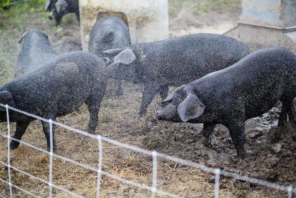 Arius-Photo-Karl-Family-Farms-Free-Range517.JPG