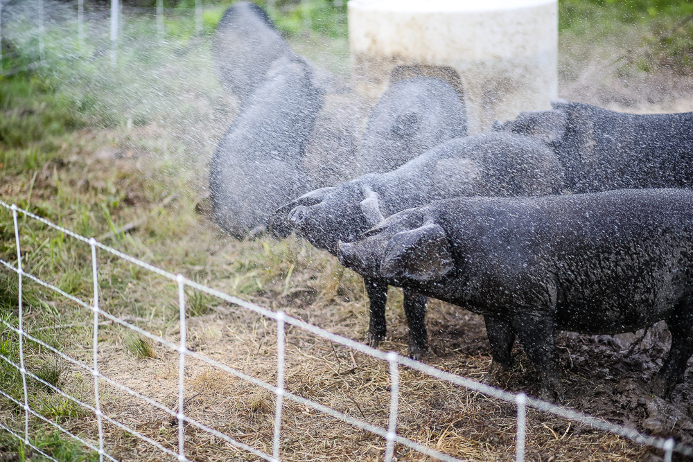 Arius-Photo-Karl-Family-Farms-Free-Range518.JPG