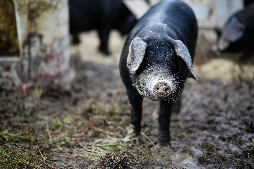 Arius-Photo-Karl-Family-Farms-Free-Range529.JPG