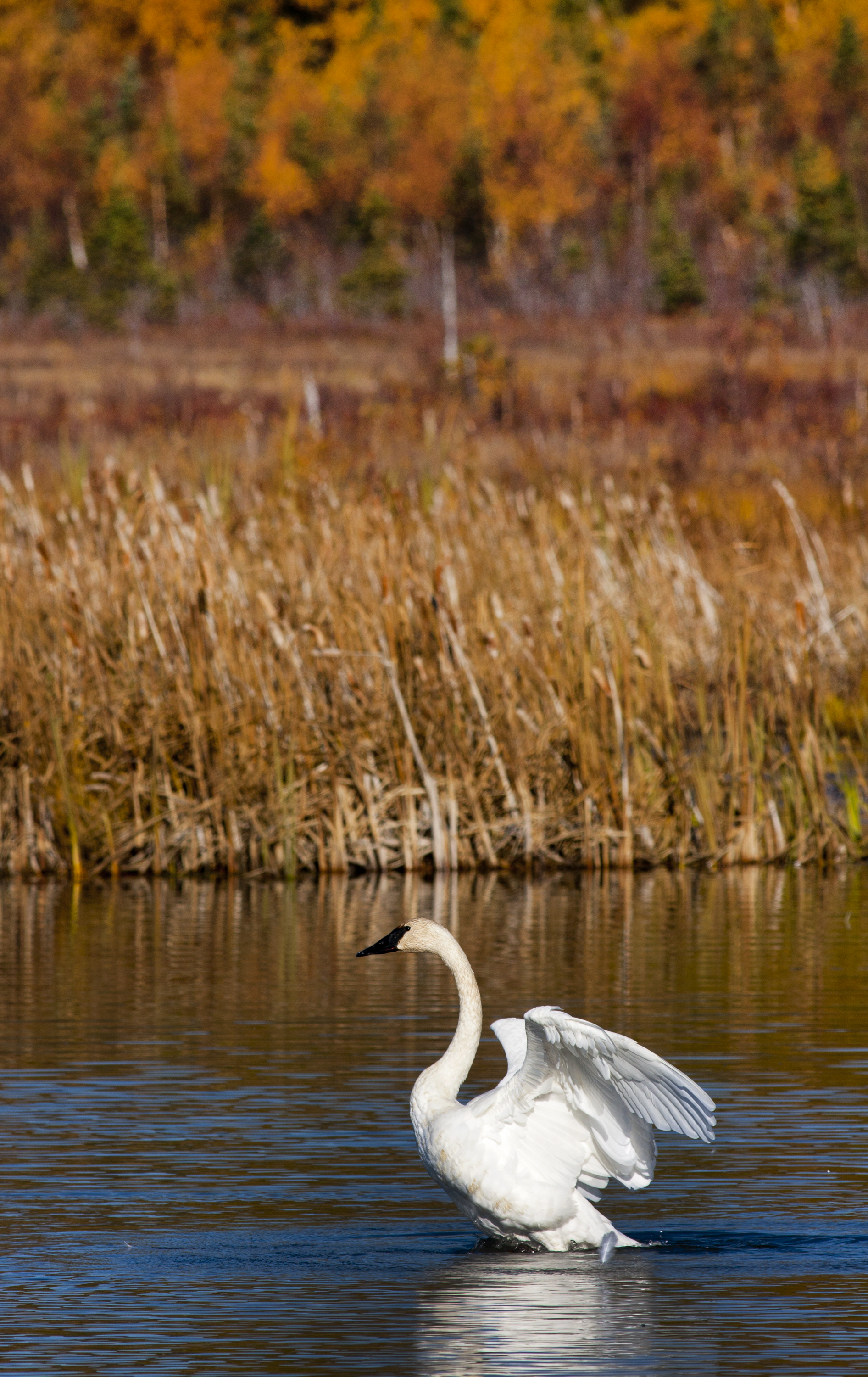 swan winging out.jpg