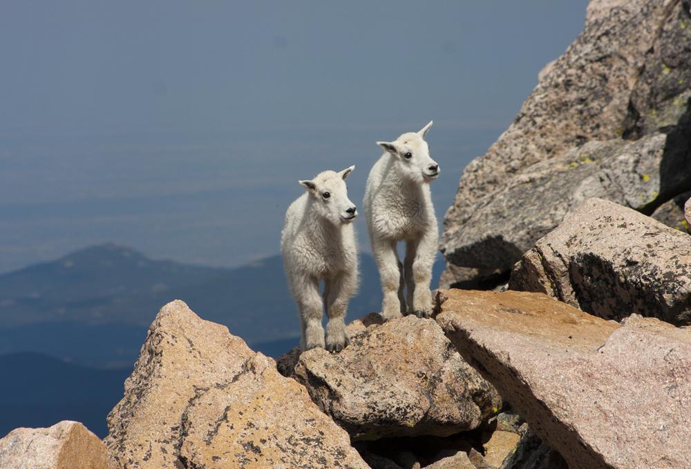 2 baby goats evans mt.jpg
