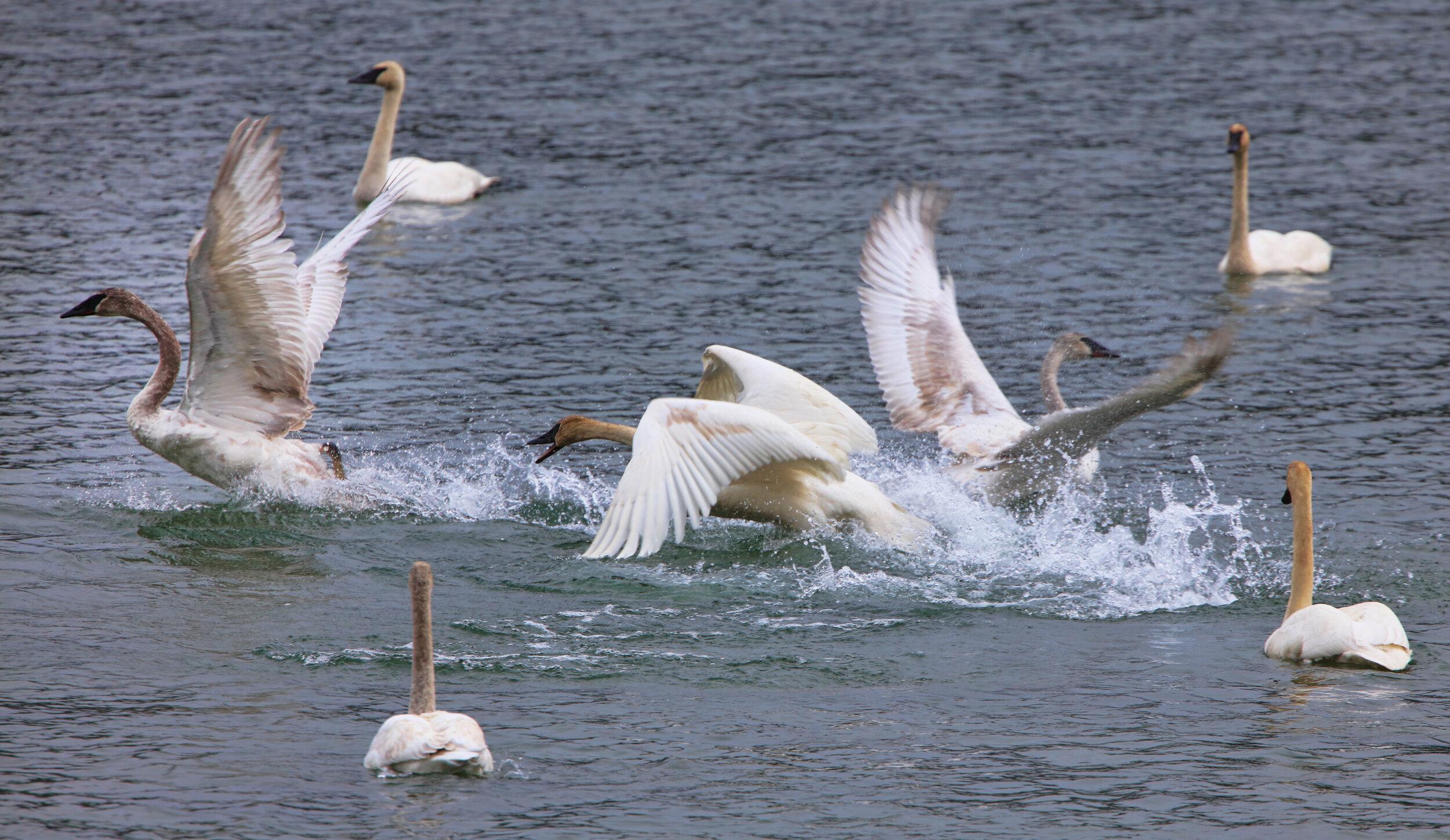 swan chase 1 cordova.jpg