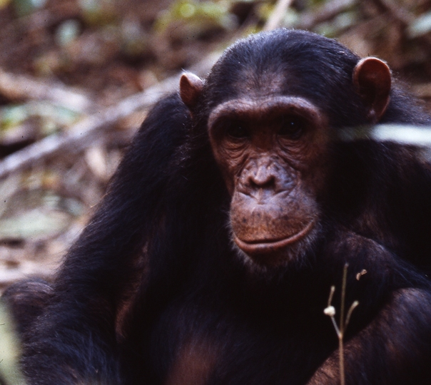 Portrait of Wilkie—Jane Goodall named him after the American presidential candidate, who parted his hair in the middle