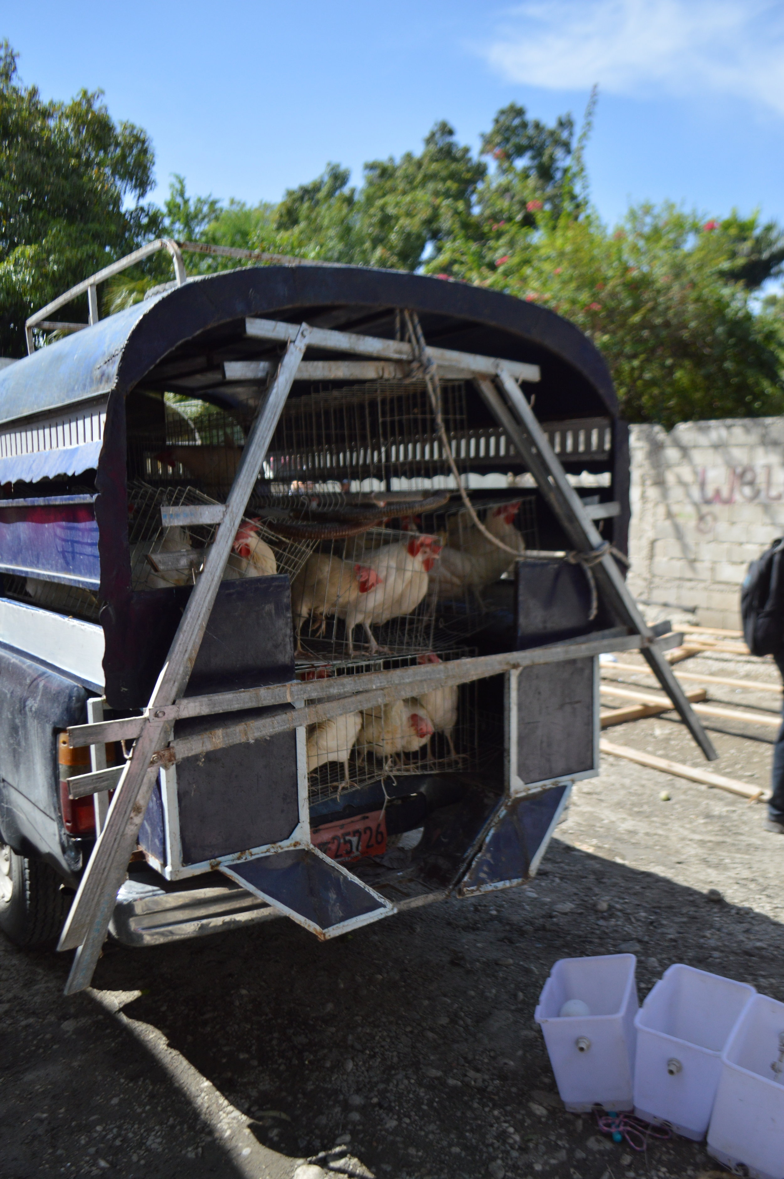 chickens on a taptap.JPG