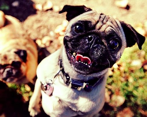 Happy pug.jpg