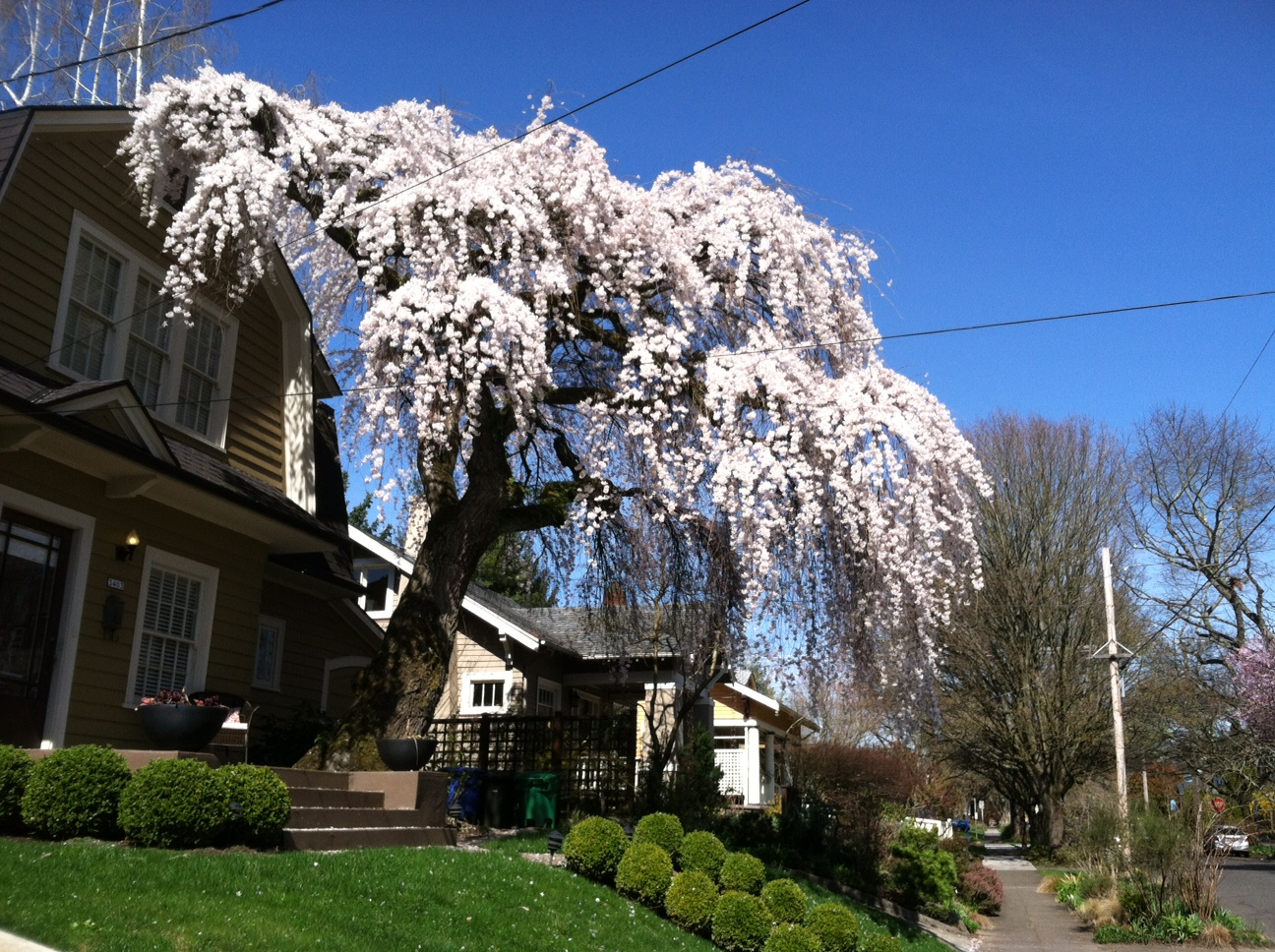 Weeping Cherry tree - heritage tree at Ne 18th - Photo by barb christopher
