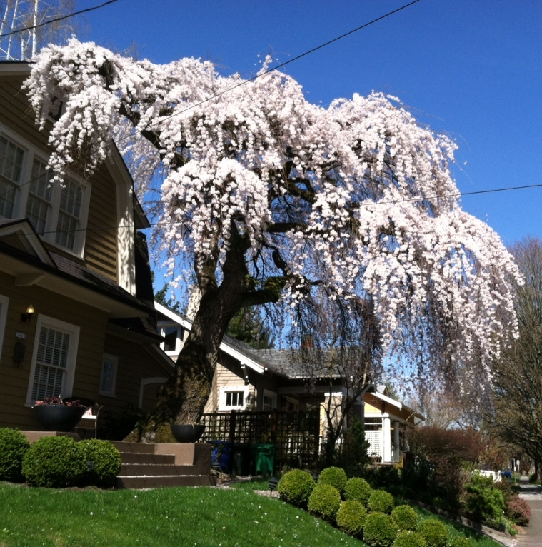 Heritage Weeping Cherry on NE 18th Ave - photo by barb christopher