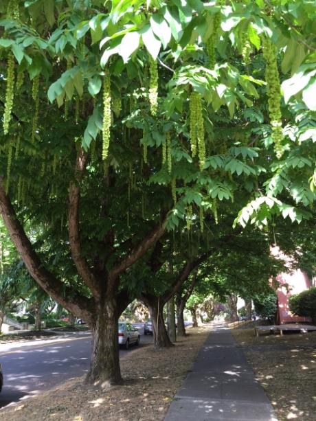 Caucasian Wingnut (Pterocarya Fraxinifolia) Trees, NE 15th Avenue and Knott Street, photo by Julie Fukuda