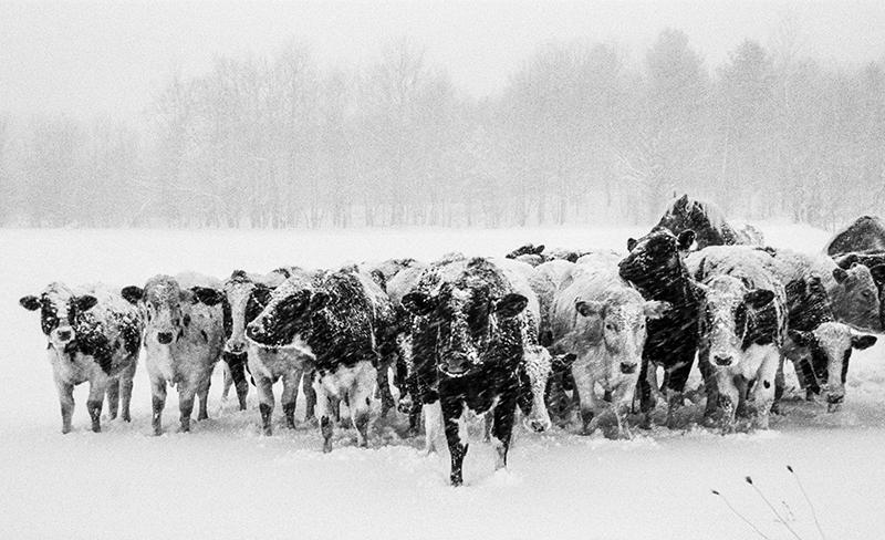 COW'S CHILLIN' - VERMONT - 2013