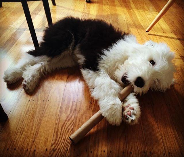 Chillin...#momothesheepdog