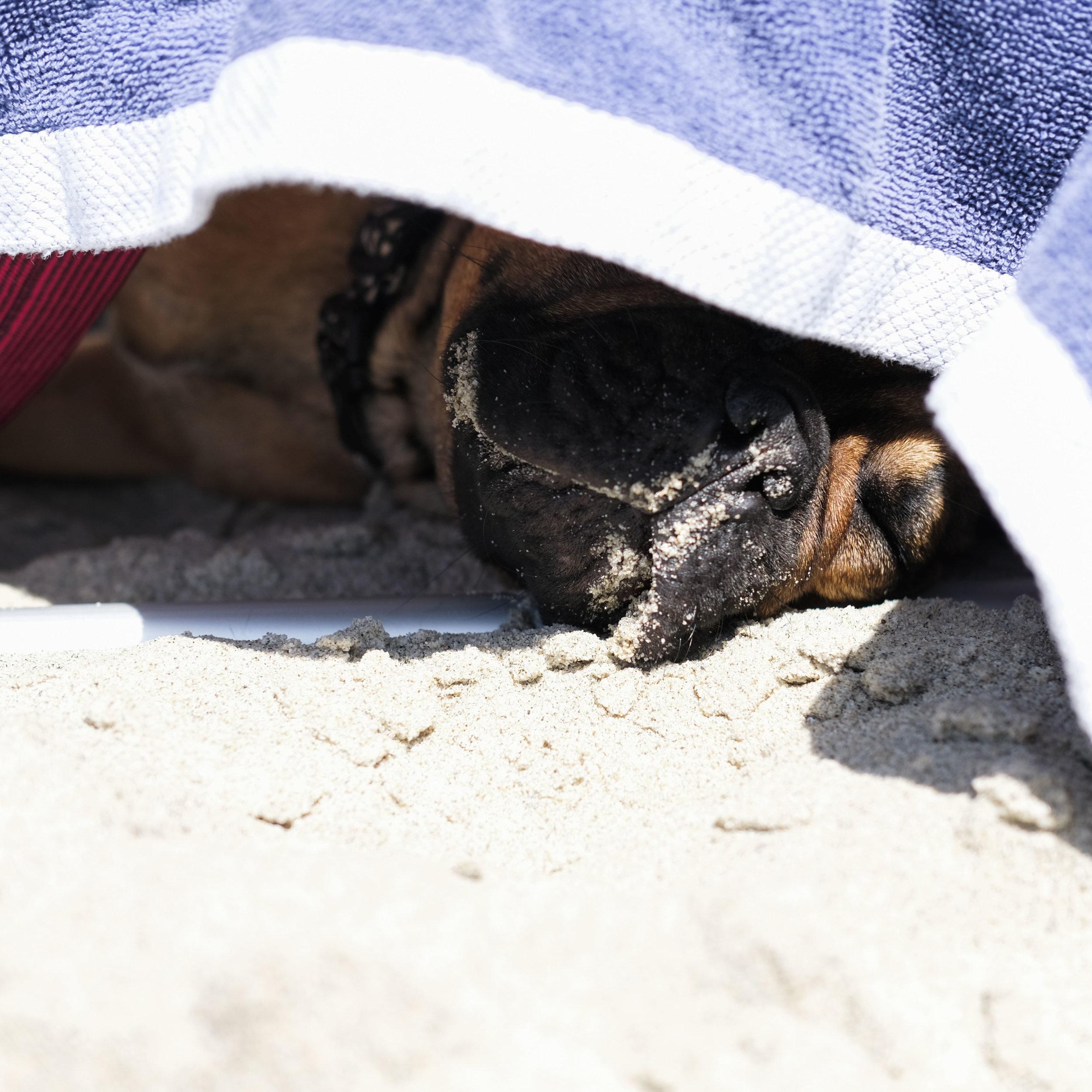 Red fawn french bulldog.  Guide to Laguna Beach.