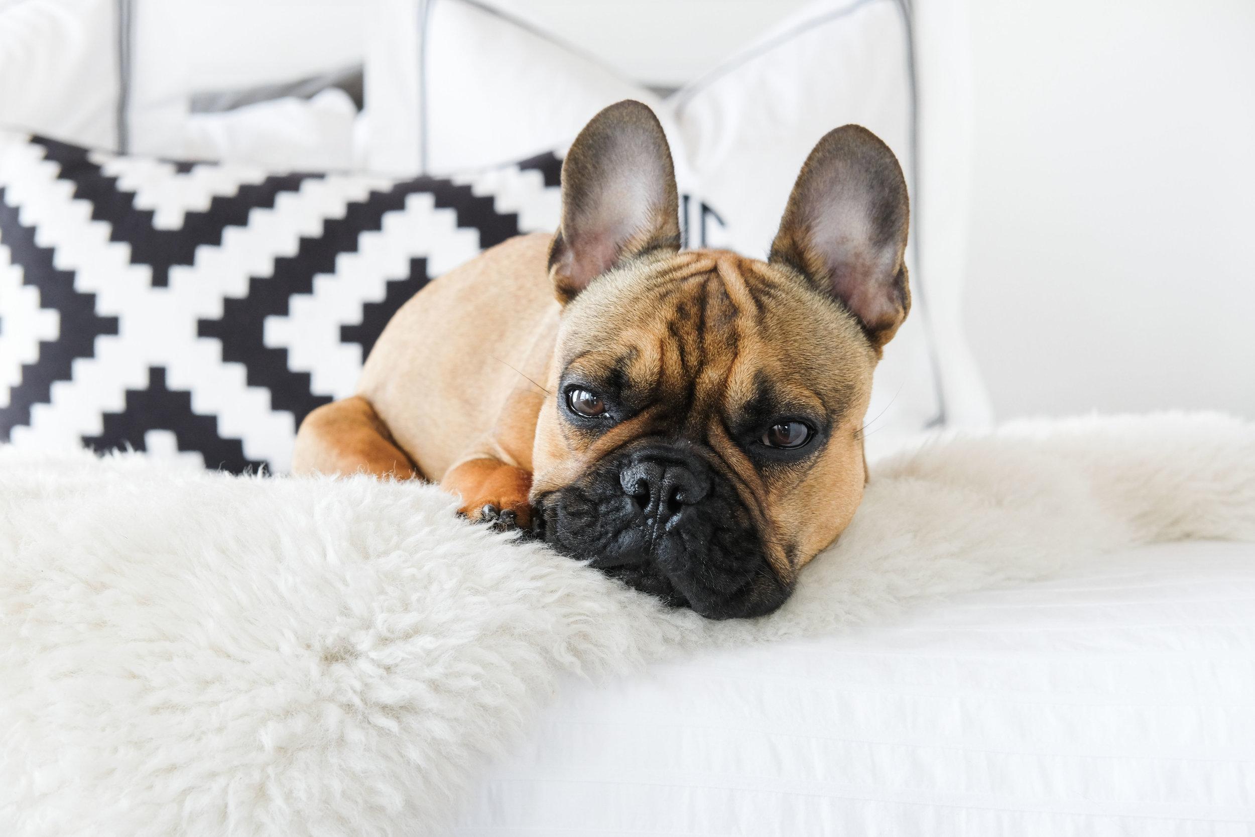 diy custom bedskirt no sew_pottery barn grand embroidered shams_all white master bedroom_industrial loft decor_french bulldog puppy_01.jpg