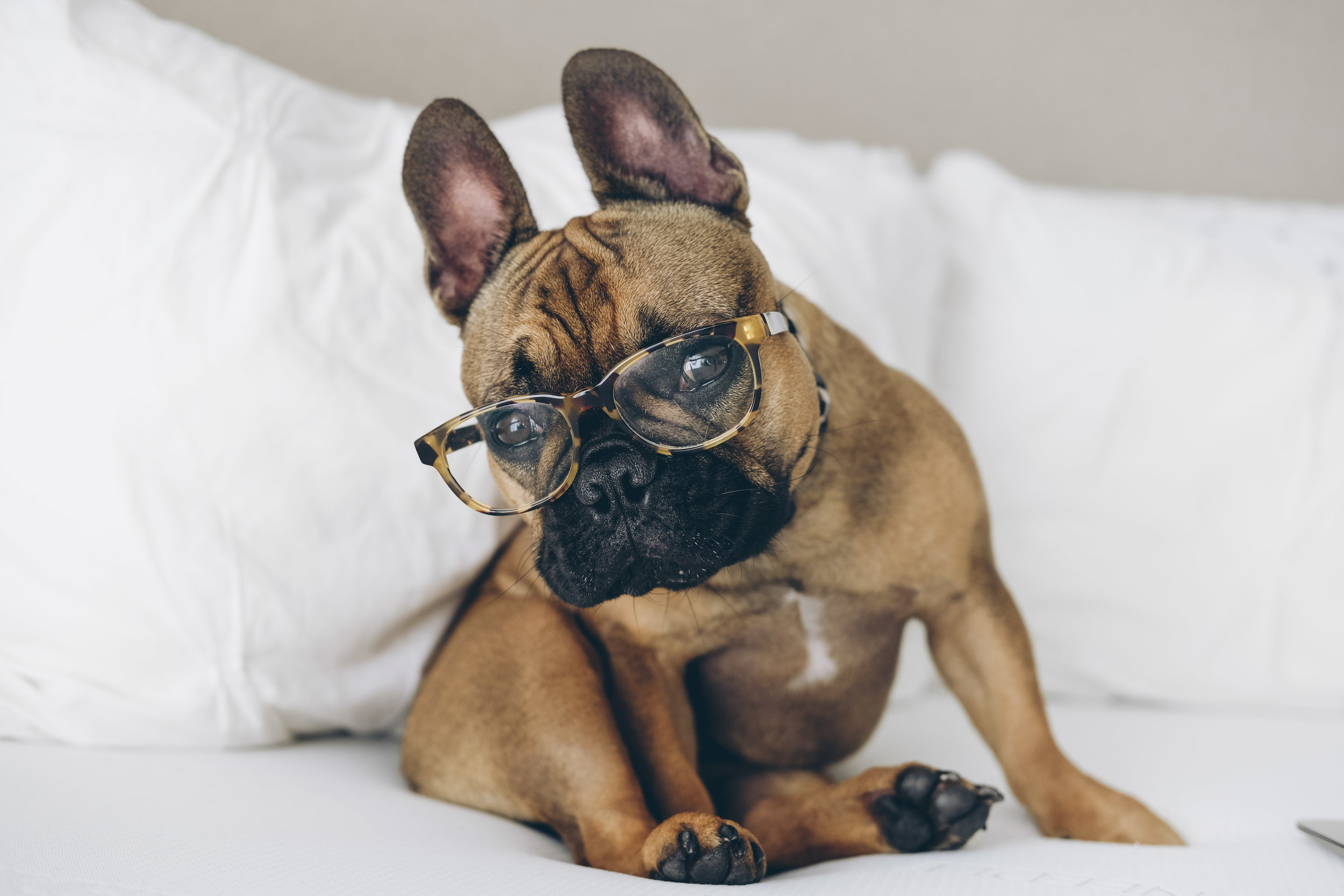 Tuft & Needle memory foam mattress review.  Me & Mr. Jones home decor.  French bulldog with glasses.  Frenchie Halloween costume.